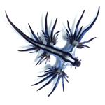 blue_sea_slug150X150