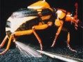 bombardier_beetle150X150