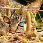 heterochromia_cat150X150