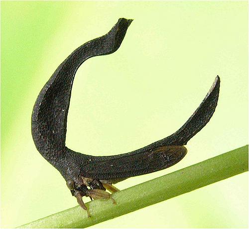 treehopper02