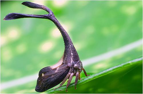 treehopper05