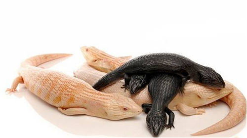 メラニズムのハスオビアオジタトカゲ