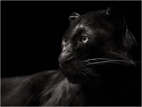melanism_animal08