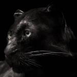 melanism_animal150X150