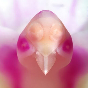 bird_head_orchid150X150