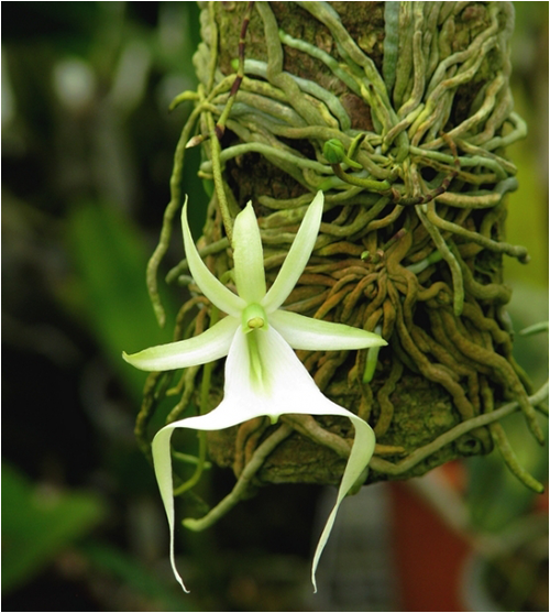 ghost_orchid01
