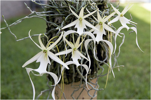 ghost_orchid04
