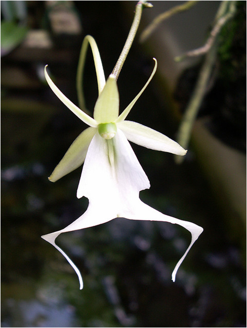 ghost_orchid05