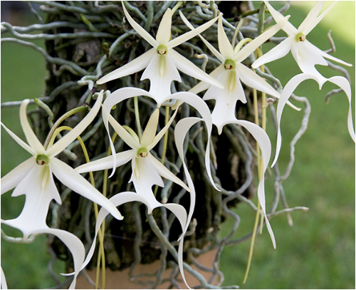 ghost_orchid07