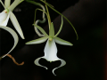 ghost_orchid150X150